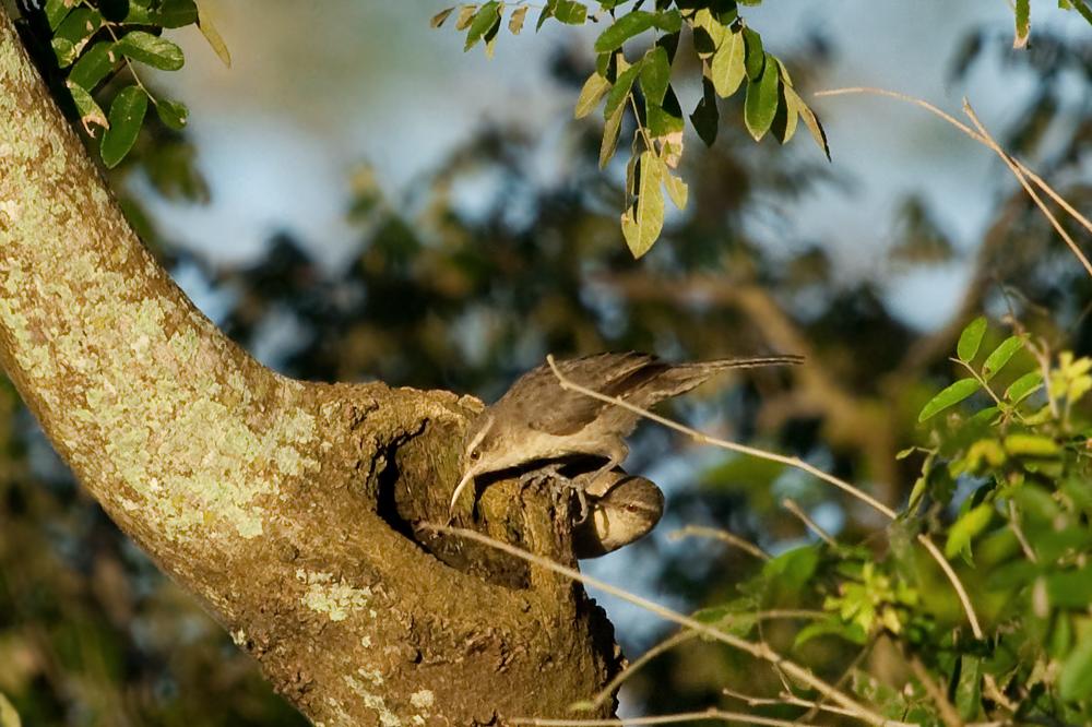 Дроздовидный кактусовый крапивник (Campylorhynchus turdinus)