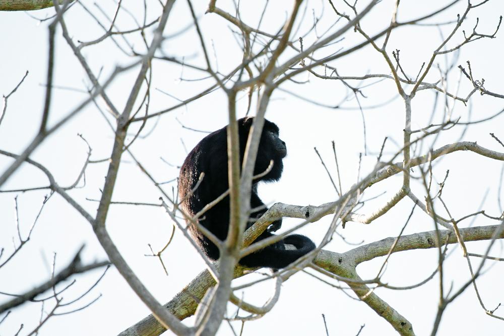 Чёрный ревун (Alouatta caraya)