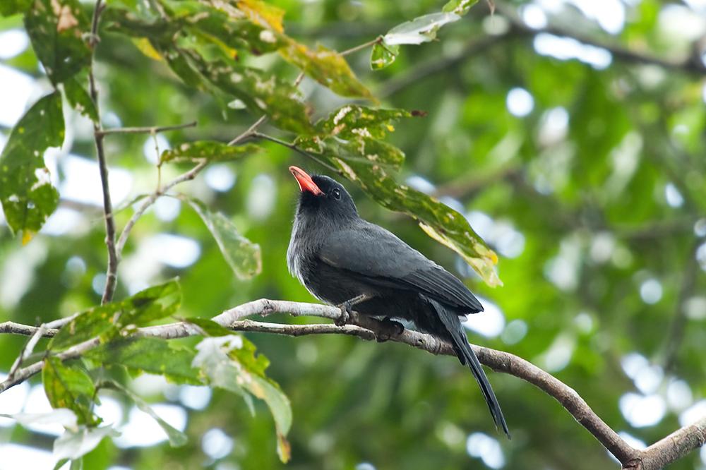 Чернолобая монашенка (Monasa nigrifrons)