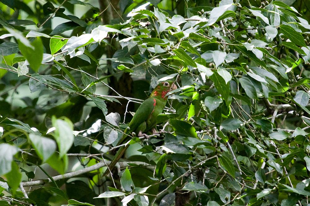 Белоглазая аратинга (Aratinga leucophthalma)