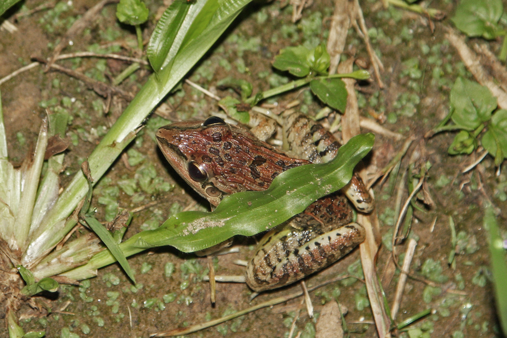 Leptodactylus