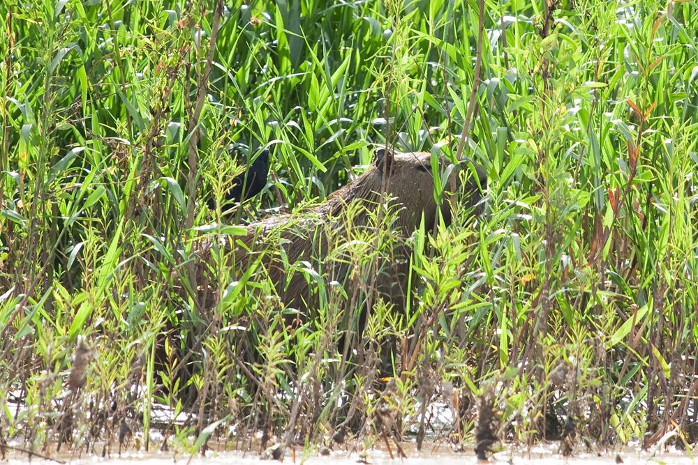 Капибара (Hydrochoerus hydrochaeris) и Большая воловья птица (Molothrus oryzivorus)