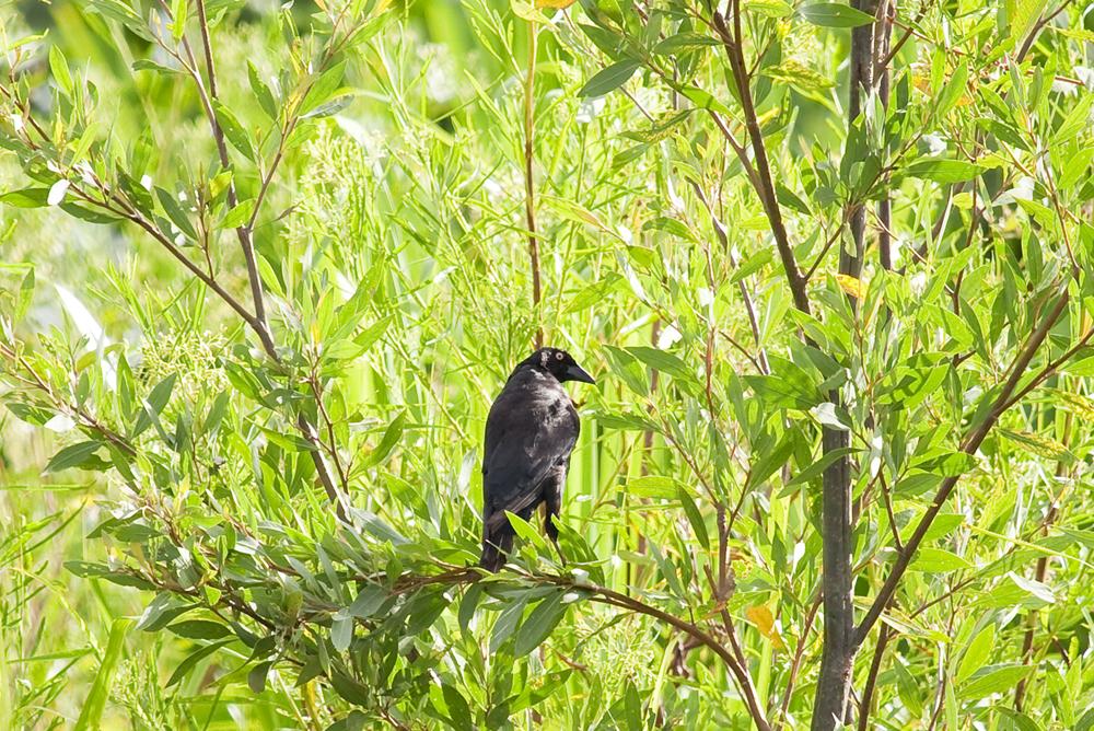 Большая воловья птица (Molothrus oryzivorus)