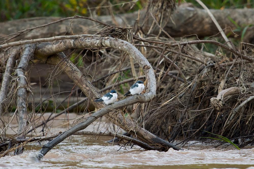 Белокрылая американская ласточка (Tachycineta albiventer)