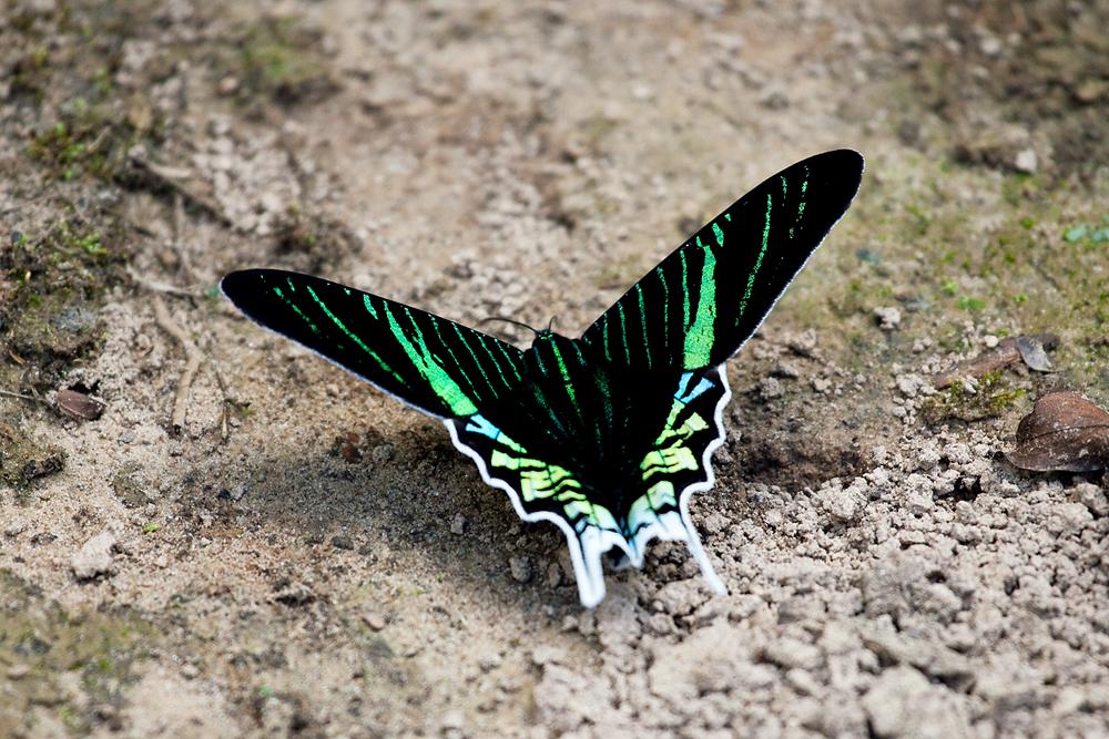 Green-banded Urania (Urania leilus)
