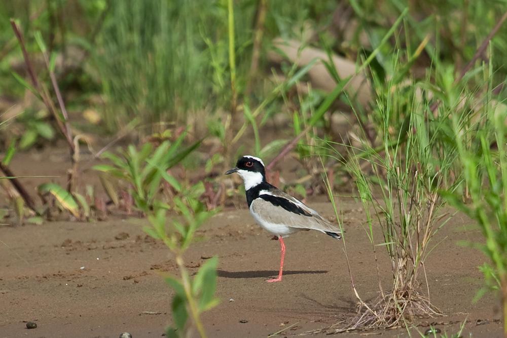 Кайеннская ржанка (Vanellus cayanus)