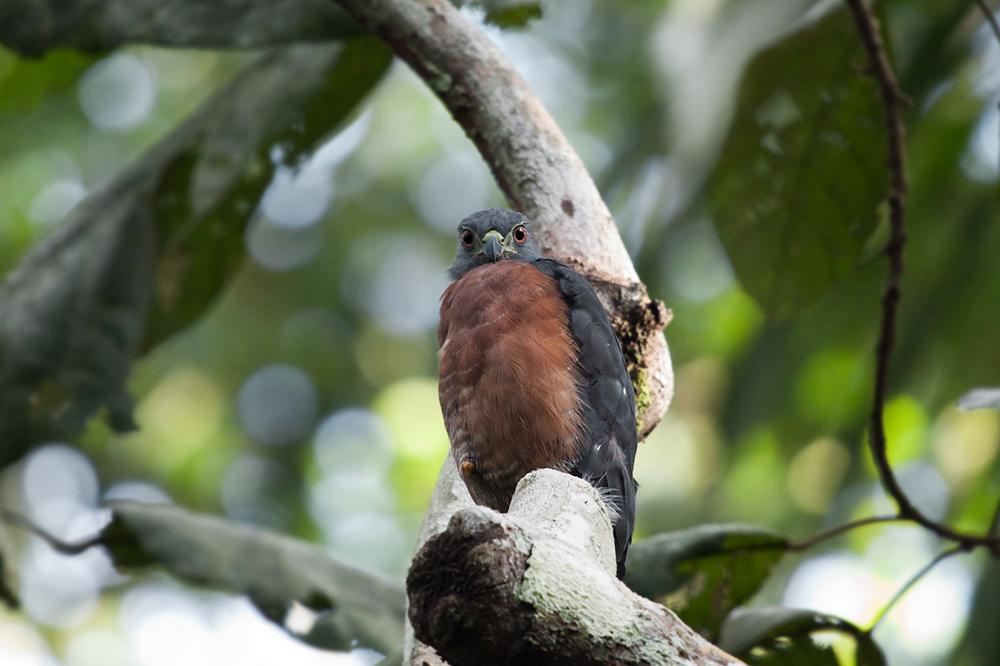 Двузубый коршун (Harpagus bidentatus)