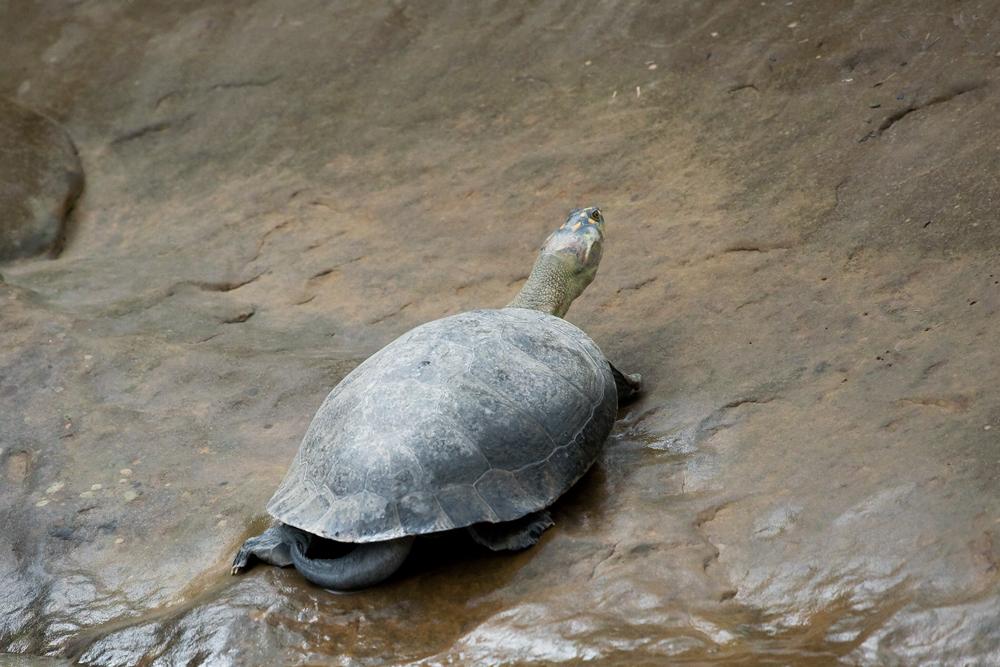 Широкая щитоногая черепаха (Podocnemis expansa)