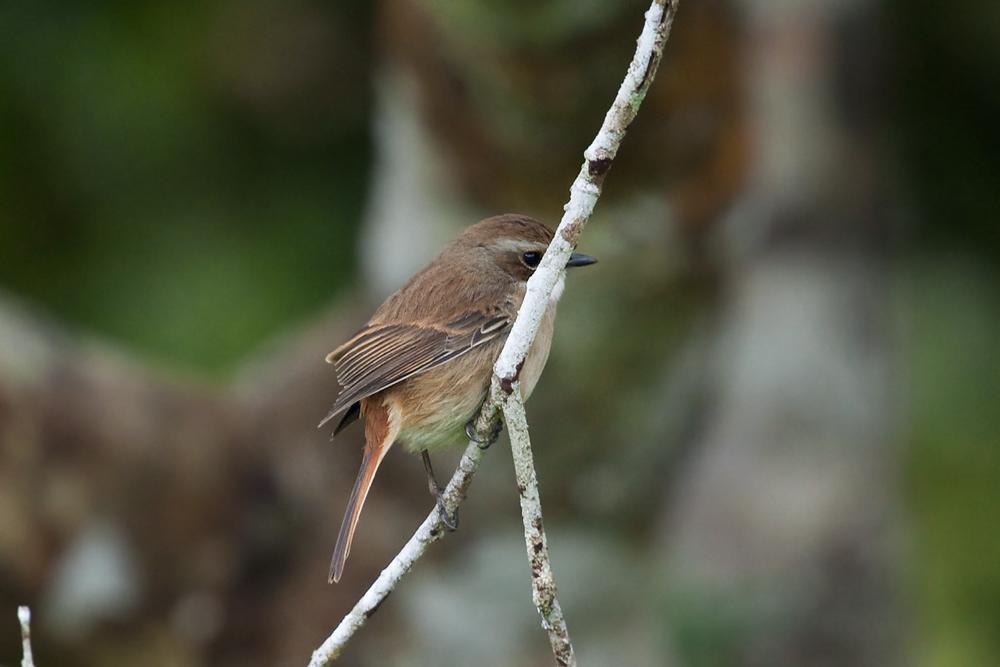 Серый чекан (Saxicola ferreus)