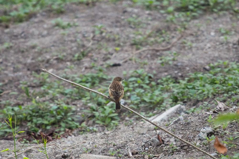 Сибирский черноголовый чекан (Saxicola maurus)