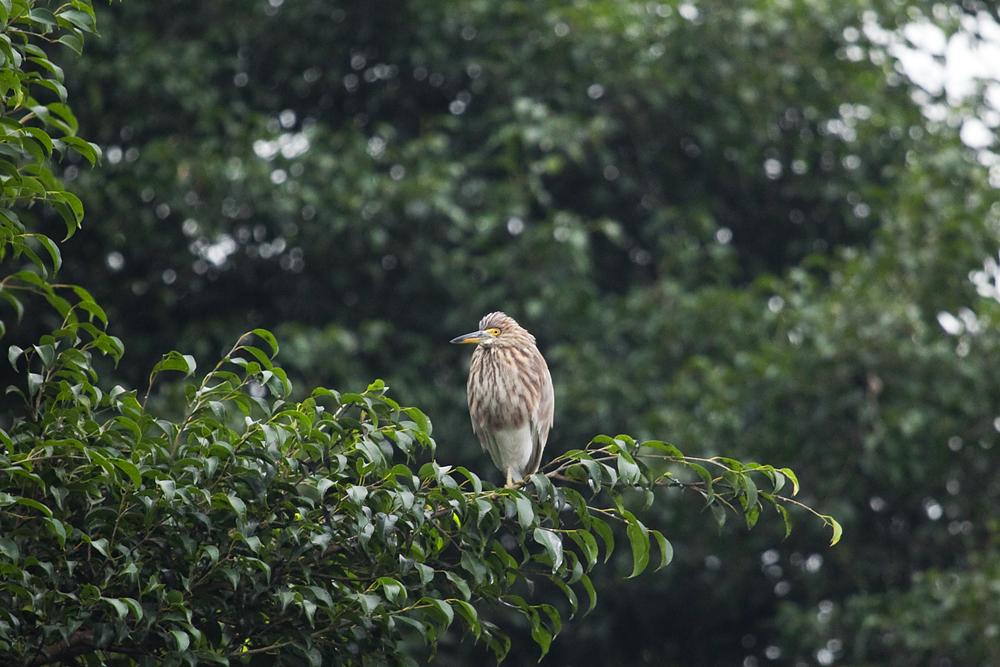 Белокрылая цапля (Ardeola bacchus)