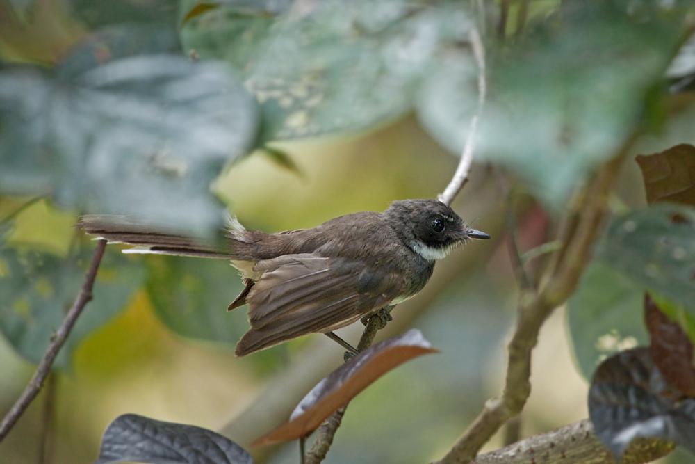 Ошейниковая веерохвостка (Rhipidura javanica)
