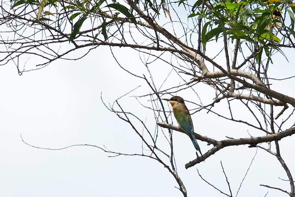 Синехвостая щурка (Merops philippinus)