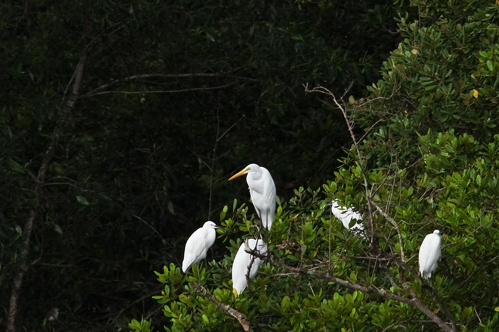Большая белая цапля (Ardea alba)