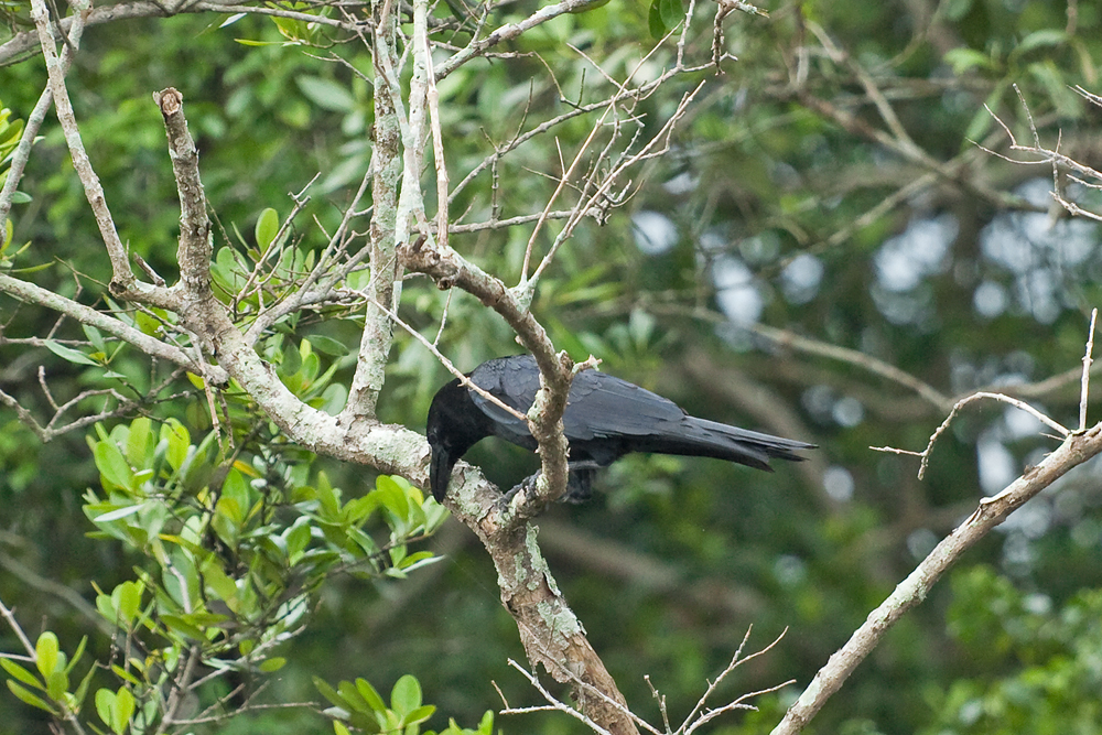 Большеклювая ворона (Corvus macrorhynchos)
