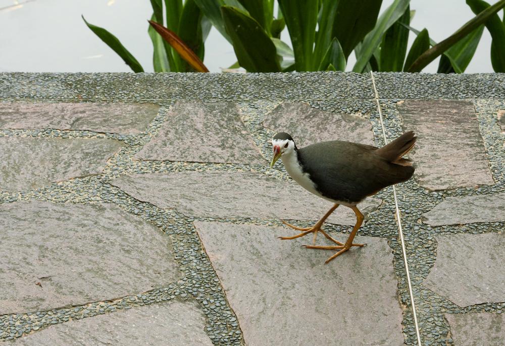Белогрудый малый пастушок (Amaurornis phoenicurus)