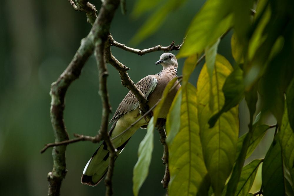 Пятнистая горлица (Streptopelia chinensis)