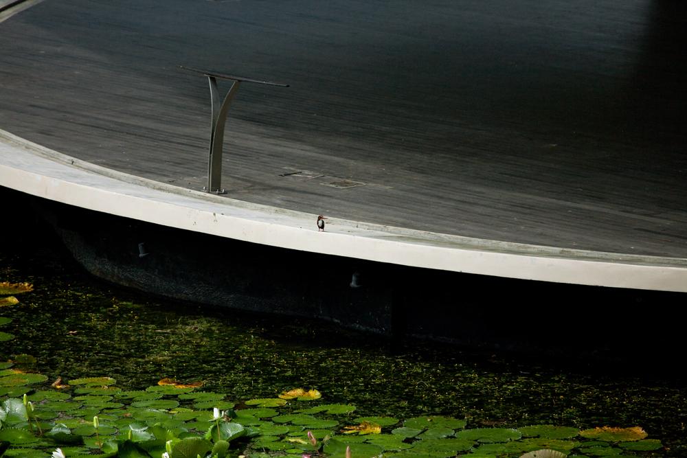 Красноклювая альциона (Halcyon smyrnensis)