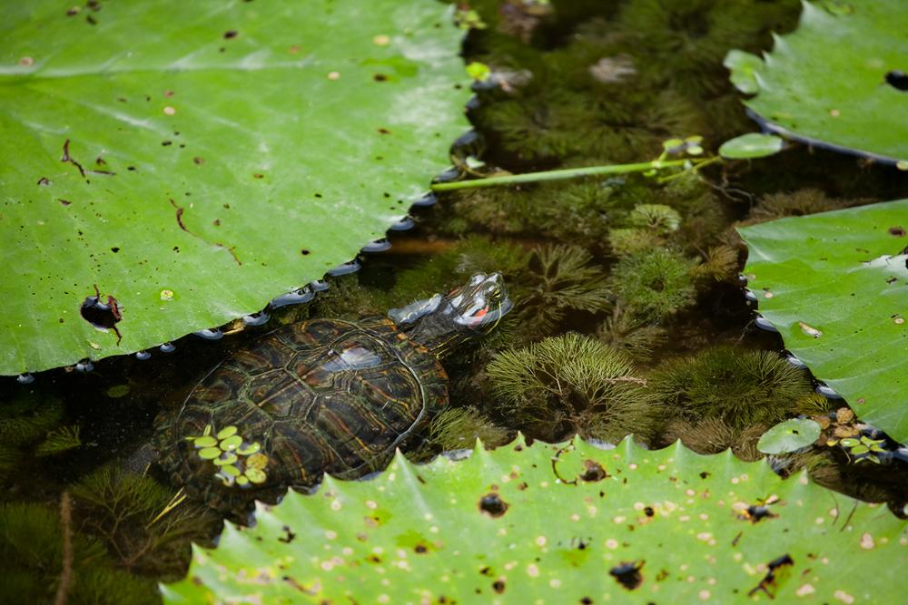 Красноухая черепаха (Trachemys scripta)