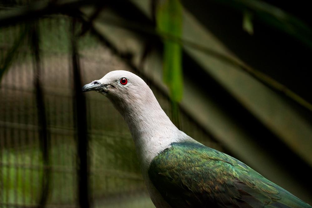 Мускатный плодоядный голубь (Ducula aenea)