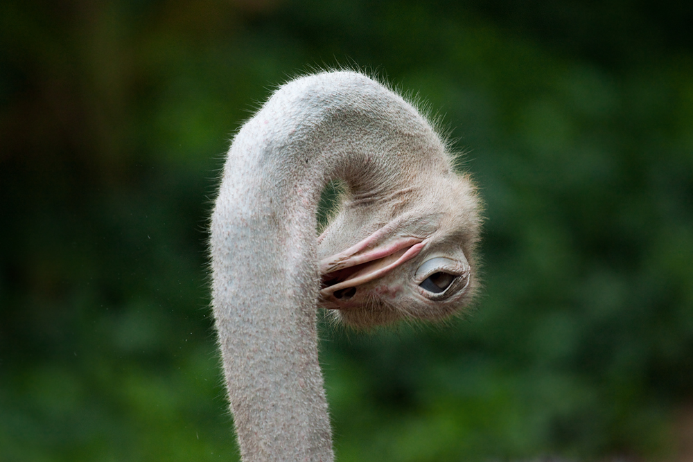 Африканский страус (Struthio camelus)
