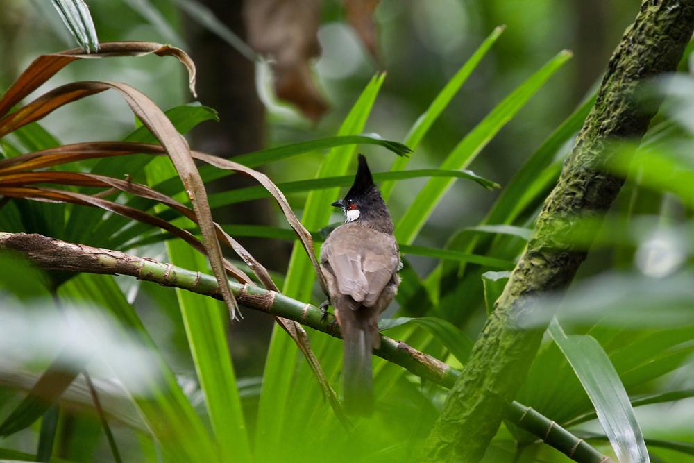 Краснощёкий бюльбюль (Pycnonotus jocosus)