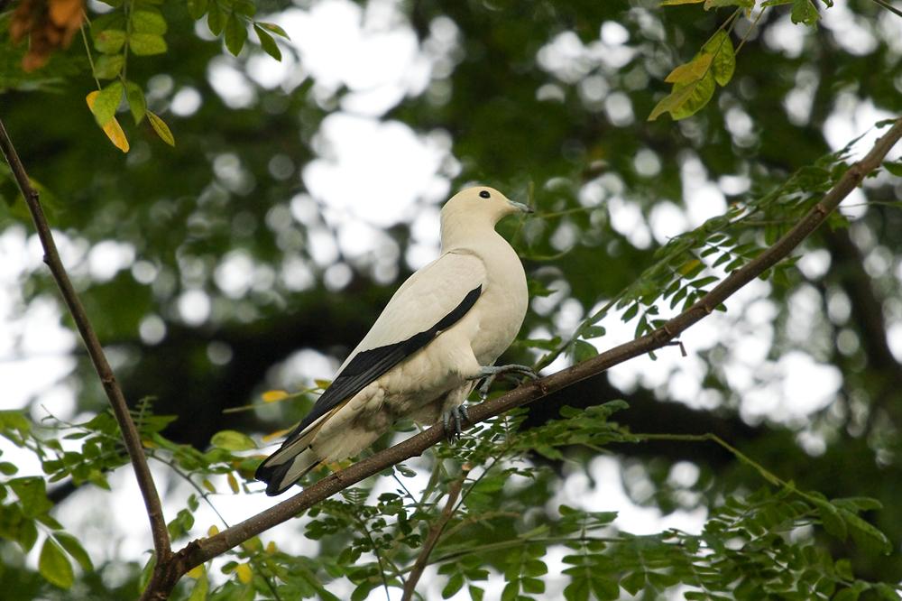 Двухцветный плодоядный голубь (Ducula bicolor)