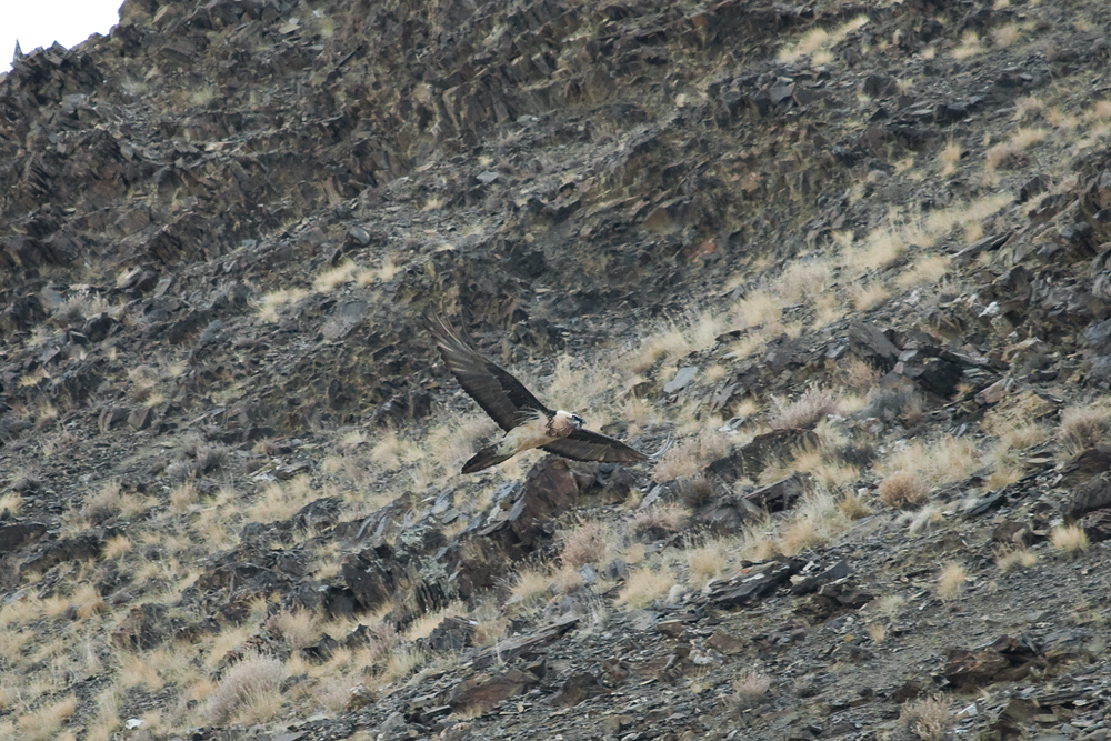 Бородач (Gypaetus barbatus)