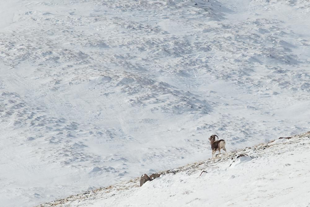 Алтайский аргали (Ovis ammon ammon)