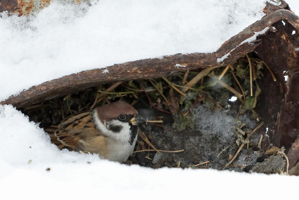 Полевой воробей (Passer montanus)
