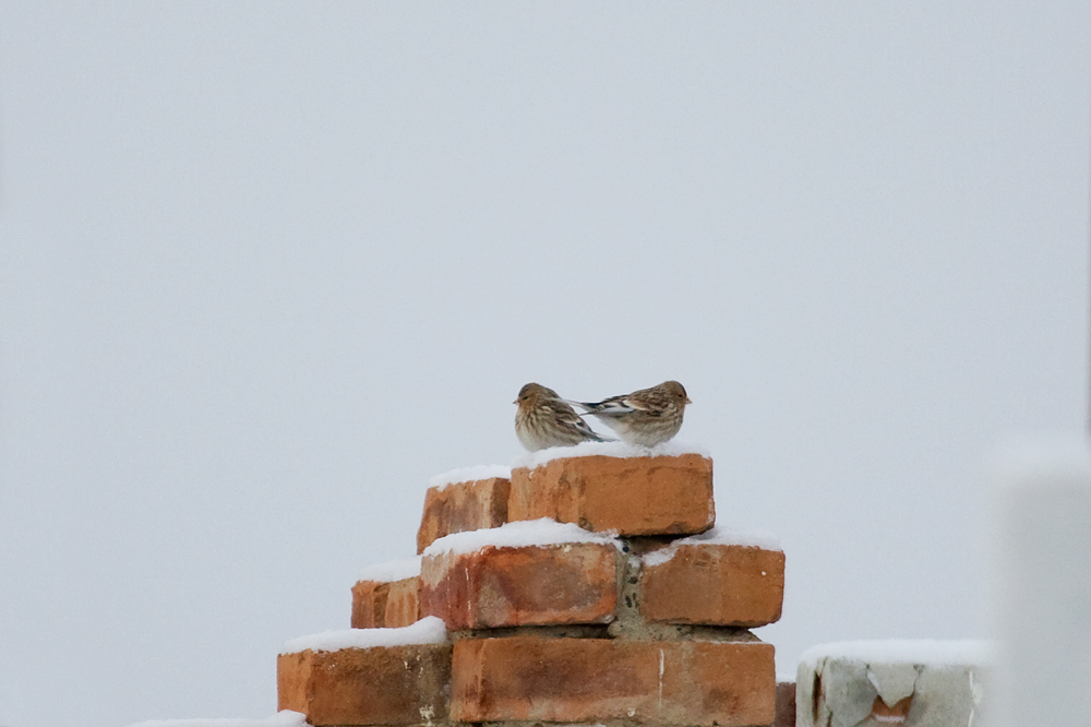 Горная чечётка (Carduelis flavirostris)