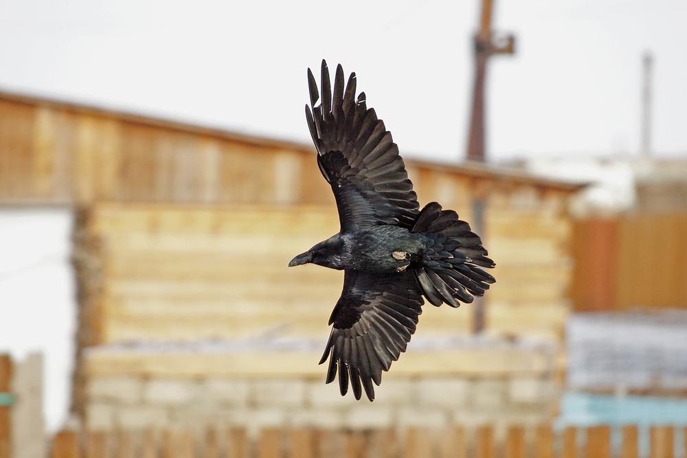 Ворон (Corvus corax)