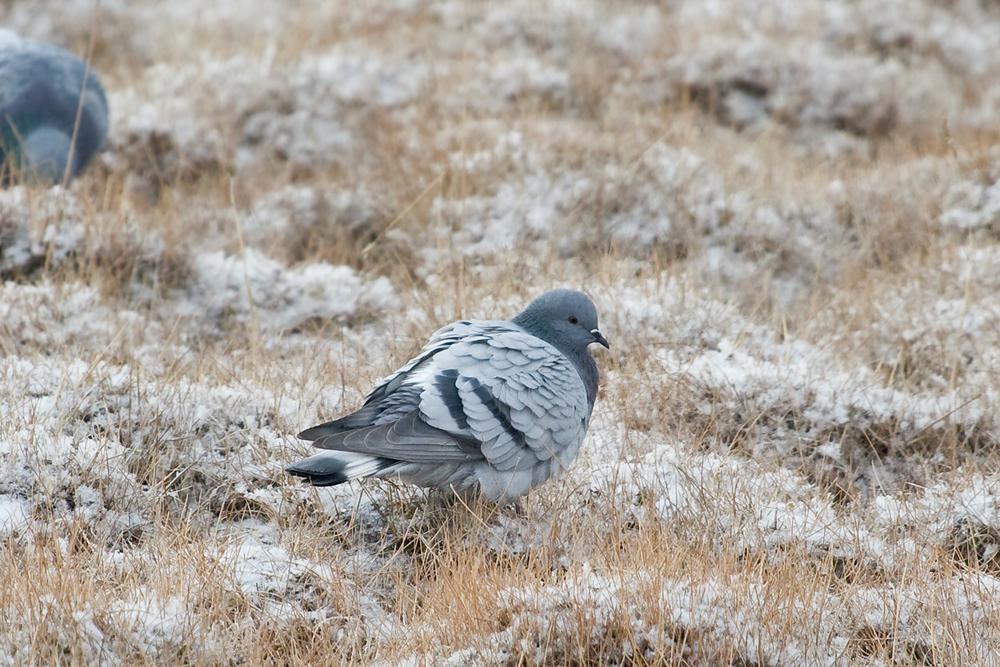 Скалистый голубь (Columba rupestris)