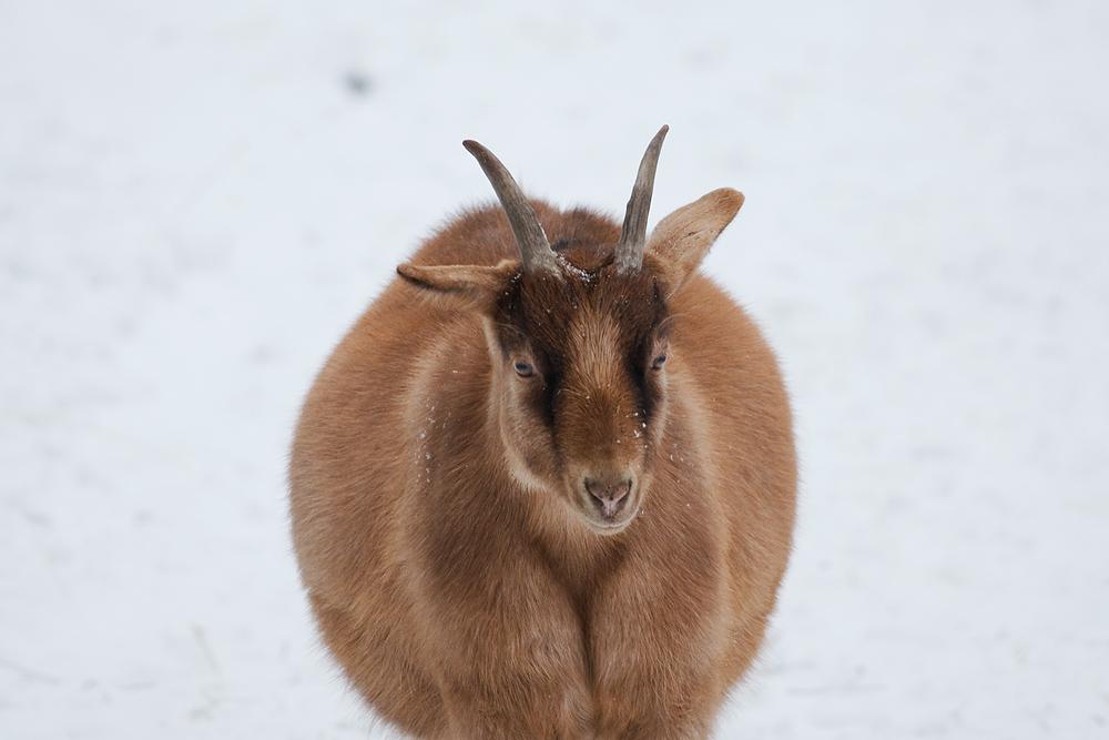 Шар козы