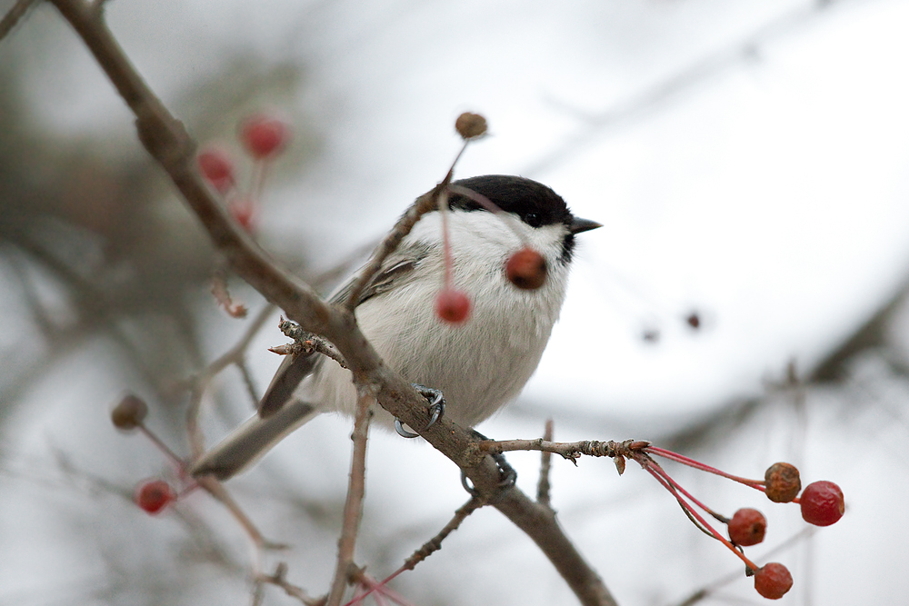 Буроголовая гаичка (Parus montanus)