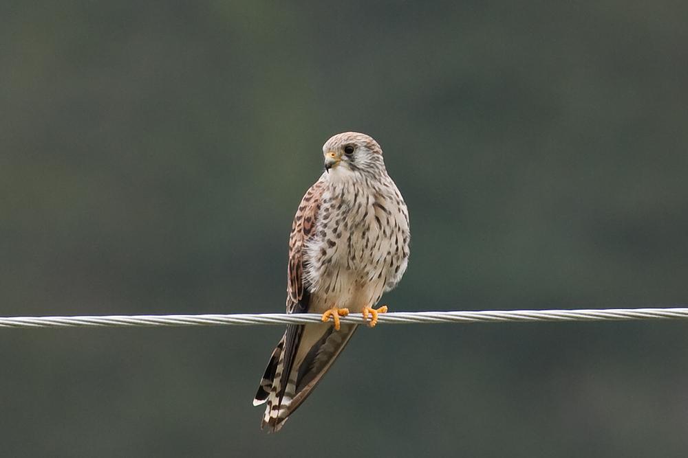 Степная пустельга (Falco naumanni)