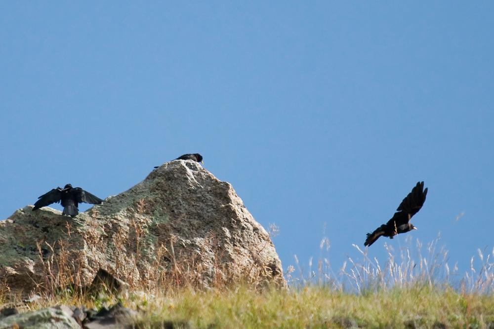 Альпийская галка (Pyrrhocorax graculus)