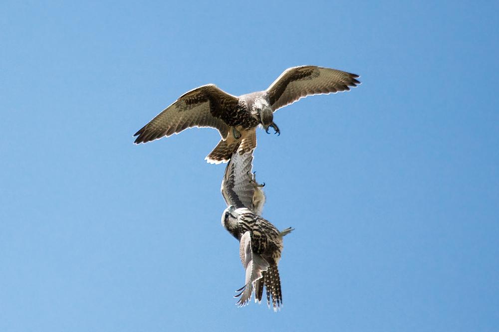 Балобаны (Falco cherrug)