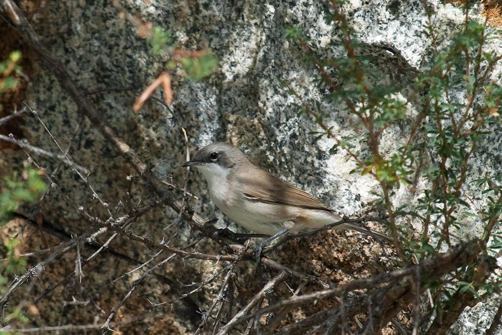 Славка-завирушка (Sylvia curruca)