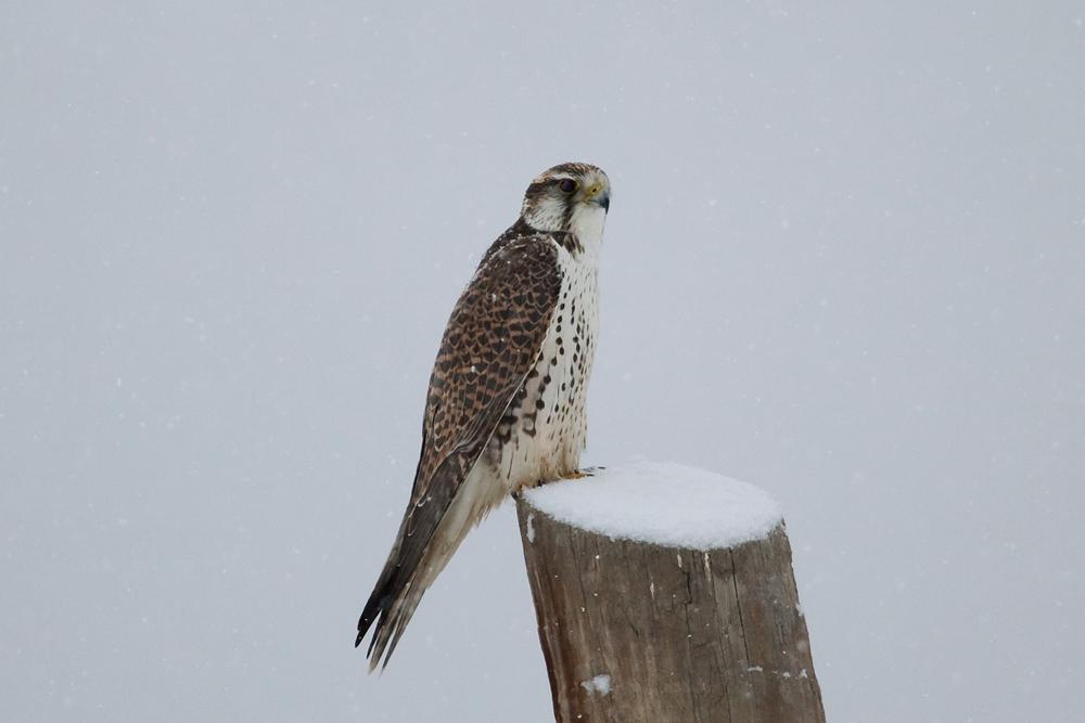 Сапсан (Falco peregrinus)