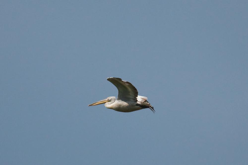 Кудрявый пеликан (Pelecanus crispus)