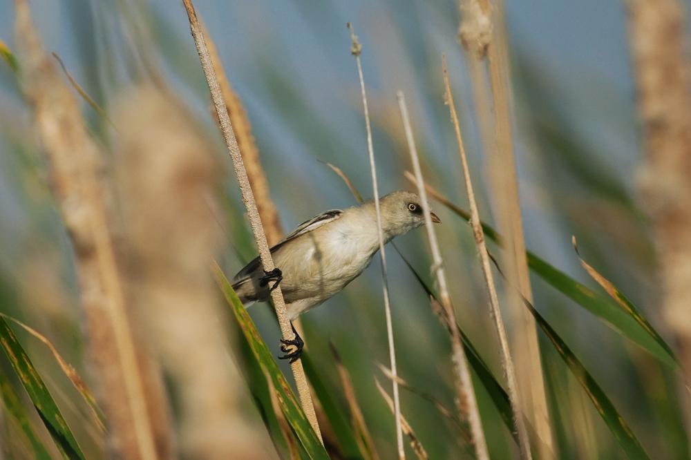 Усатая синица (Panurus biarmicus)