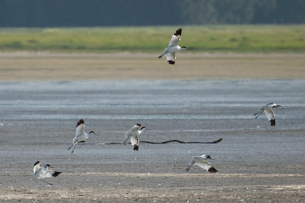 Шилоклювки (Recurvirostra avosetta)