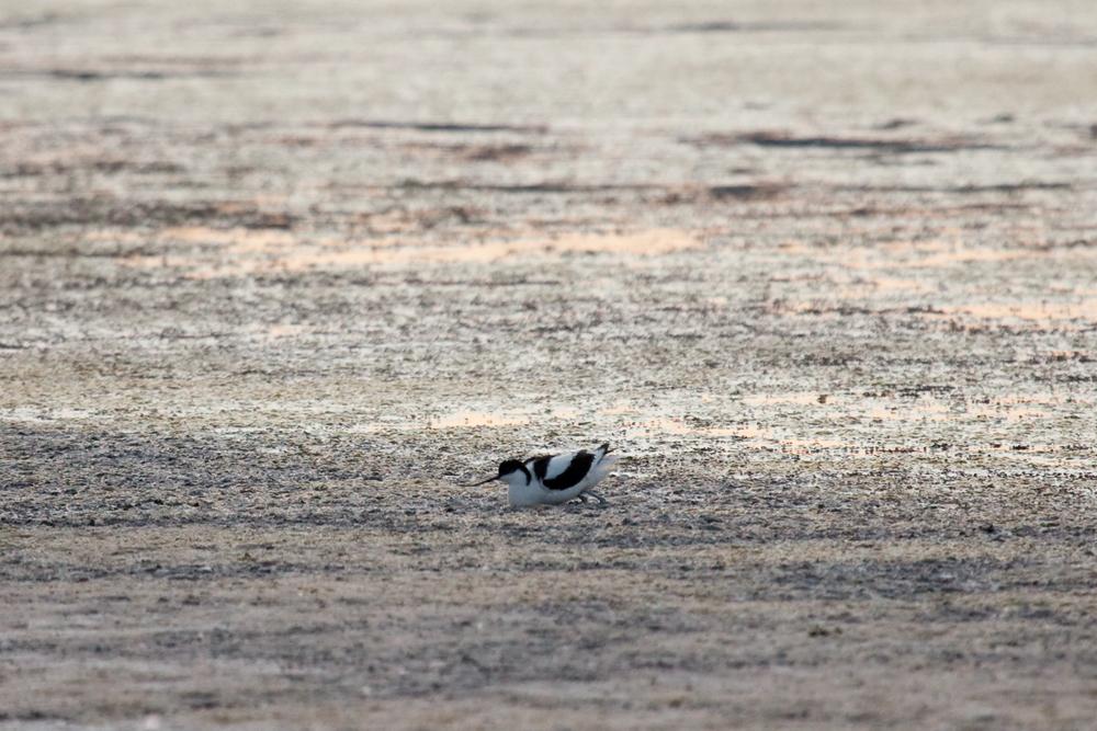 Шилоклювка (Recurvirostra avosetta)