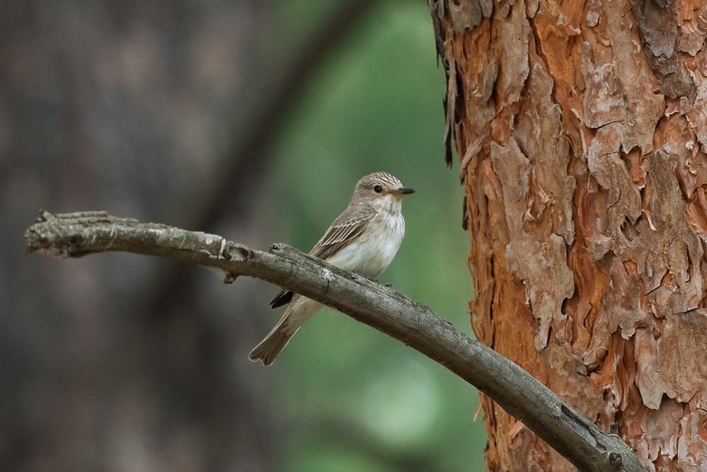 Серая мухоловка (Muscicapa striata)