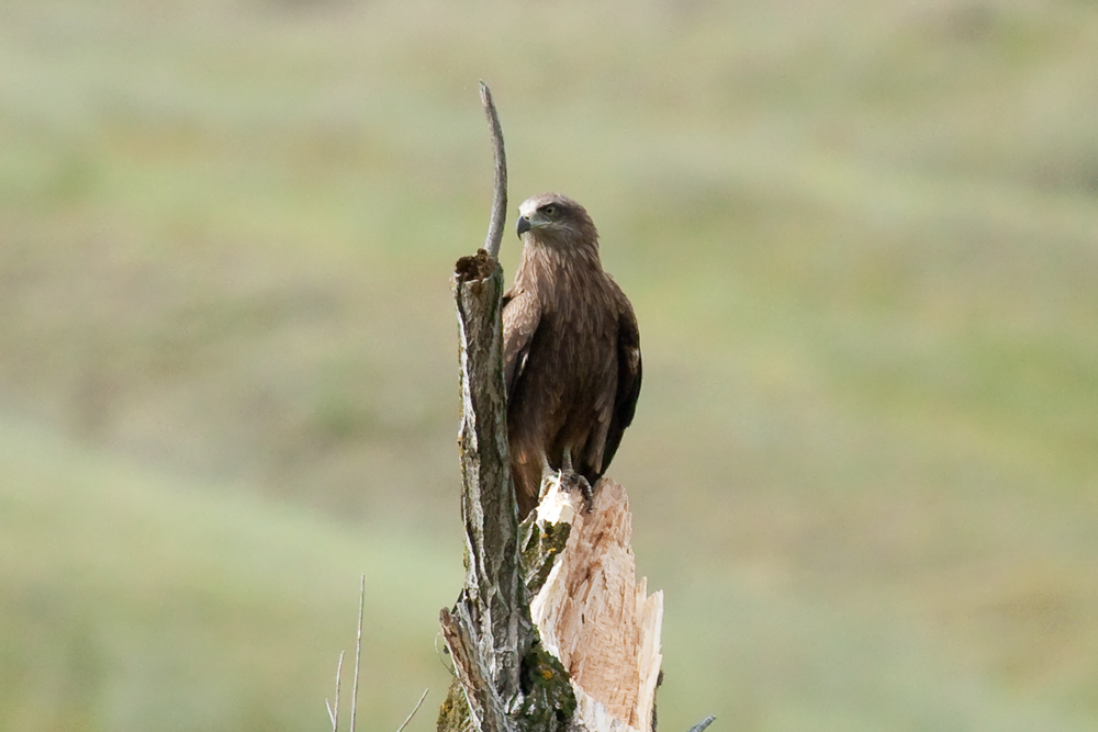 Чёрный коршун (Milvus migrans)