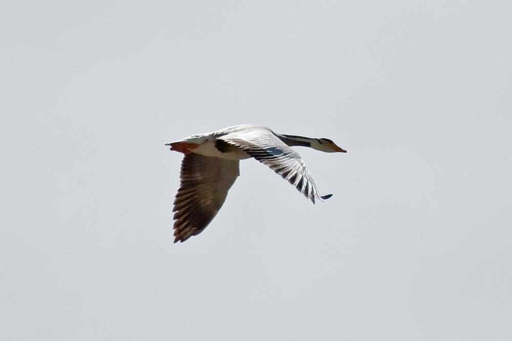 Горный гусь (Anser indicus)