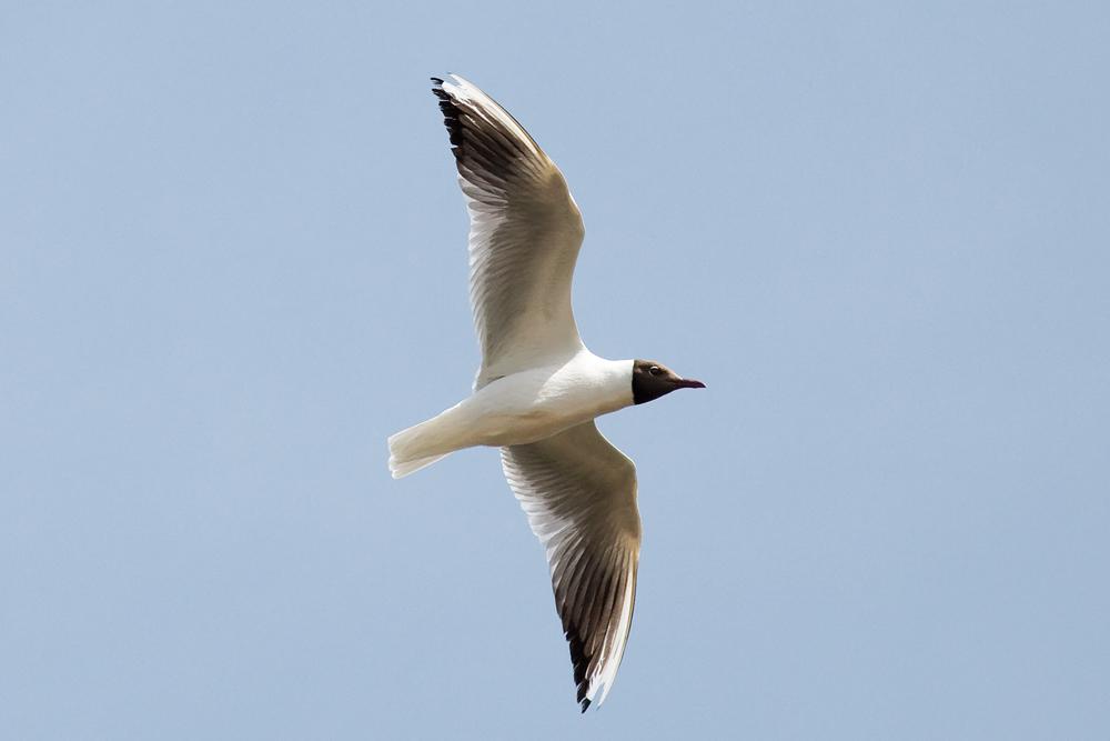 Озёрная чайка (Larus ridibundus)