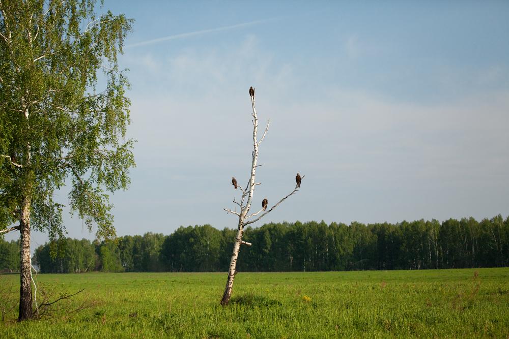 Черный коршун (Milvus migrans)