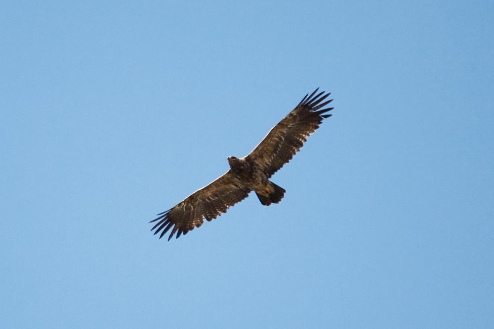 Степной орел (Aquila rapax)